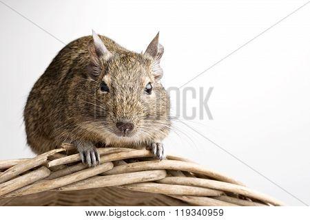 Degu Hamster