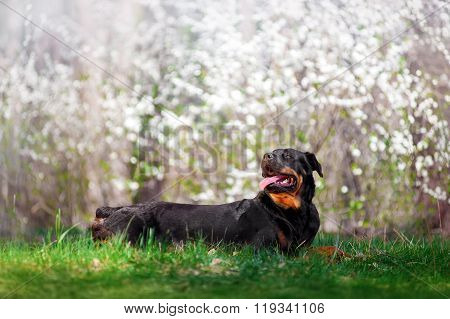 Beautiful Rottweiler dog breed is in the green grass on a white background flowering shrubs