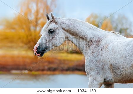 Expressive portrait Arab stallion in profile in the autumn yellow background.