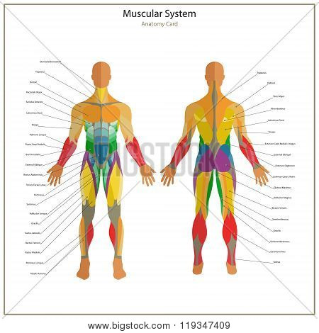 Illustration of human muscles. Exercise and muscle guide. Gym training. Front and rear view. Muscle