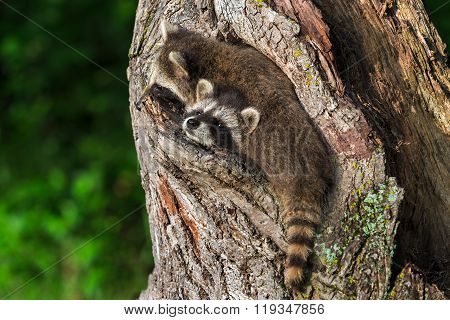 Two Raccoons (procyon Lotor) Wedged In Knothole