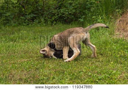 Grey Wolf Pup (canis Lupus) Pins Sibling