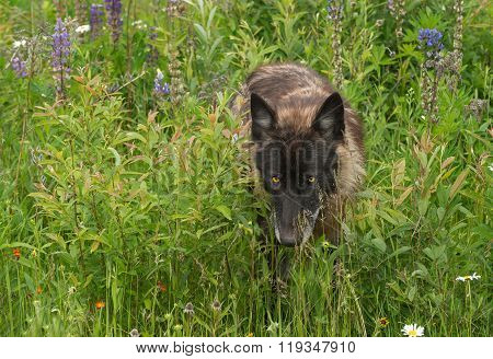 Black Phase Grey Wolf (canis Lupus) Walks Through Lupin Patch