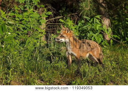 Red Fox Vixen (vulpes Vulpes) With Piece Of Meat