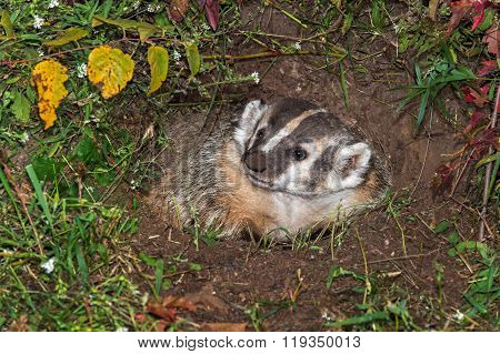 North American Badger (taxidea Taxus) Looking Left In Den