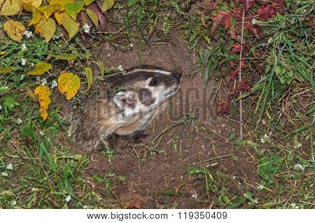 North American Badger (taxidea Taxus) Looks Up