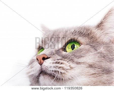 The Head Of The Gray Cat With Green Eyes Looking Up