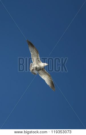 White sea gull flying in the blue clear sky.