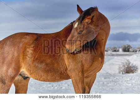 Brown Horse Scratching Himself With His Teeth