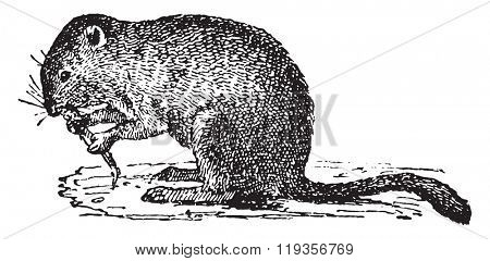 Economic vole, vintage engraved illustration. Dictionary of words and things - Larive and Fleury - 1895.