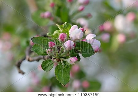 Branch Apple Tree With Delicate Pink Flowers On Blurred Green Background Of Foliage.