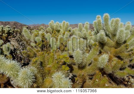 Looking Out Over Cholla Cactus Garden