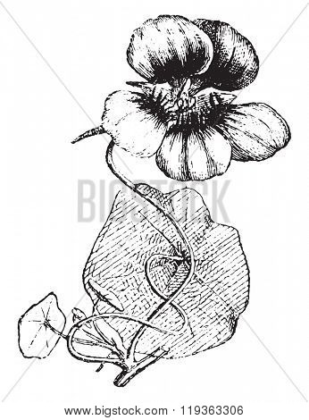 Nasturtium, vintage engraved illustration. Dictionary of words and things - Larive and Fleury - 1895.