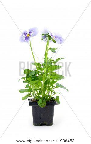 Seedlings Viola