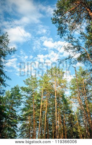 beautiful tall pine trees in the forest against the sky