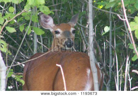 Deers Lookin At You Kid
