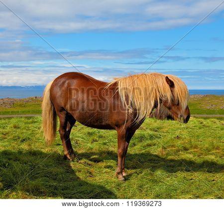 Iceland in July. Farmer sleek bay horse with a light mane