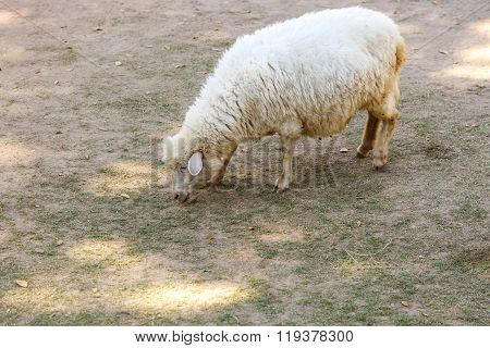 White Sheep In Fram