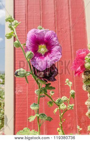 Hollyhock (Althaea) Blossoms