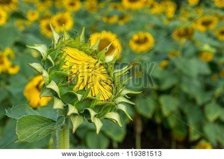Sunflower bud in a sunflower field