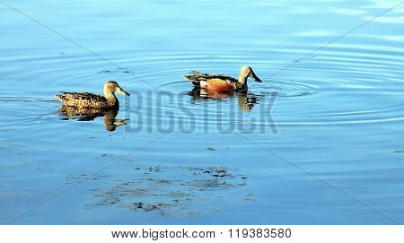 Pair Of Shoveler Ducks