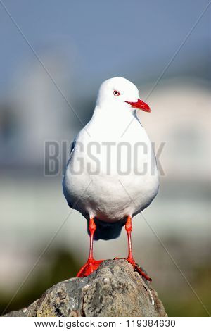 Close Up Of A Red-billed Gull