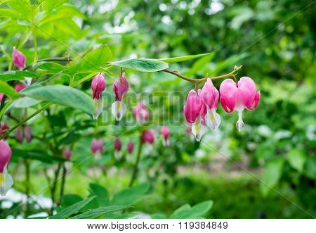 Bleeding Heart Flower In Nature Background