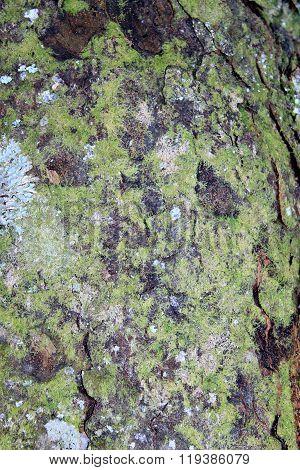 Kahikatea Tree Trunk Bark