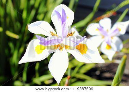 Wild Fairy Iris