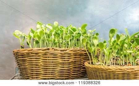 Easily Grow Indoor Sunflower Sprouts In Rattan Textile