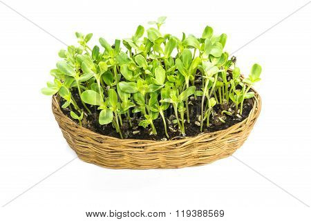 Easy Implant Sunflower Sprouts In A Rattan Basket Isolated On White Background
