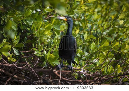 Double-crested Cormorant Phalacrocorax Auritus