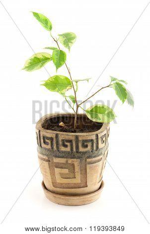 Ficus benjamina in flowerpot