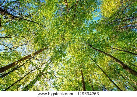 Spring Sun Shining Through Canopy Of Tall Trees Woods. Sunlight