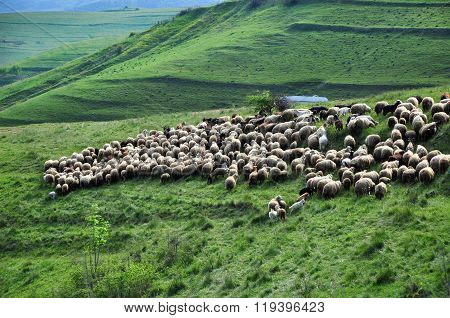 Herd Of Sheep In The Spring