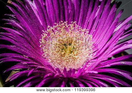 Blossoming Flower Of Delosperma