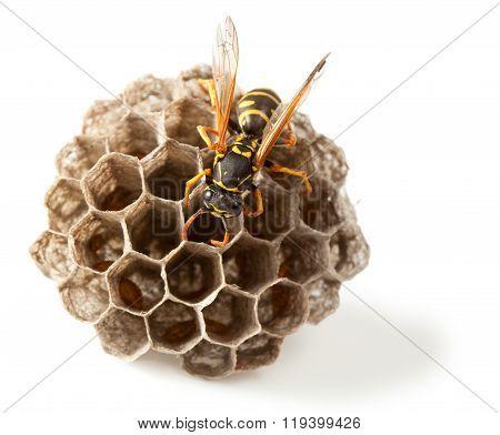Wasp And Vespiary
