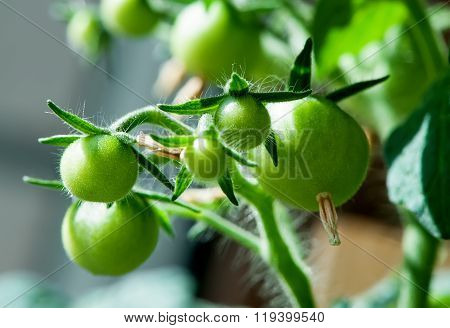 Bunch of young green tomato close-up