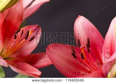 Close up red lily