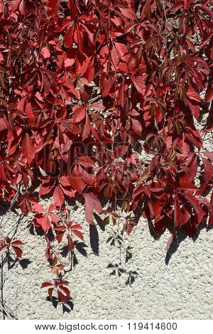 Red Autumnal Creeper Grape Foliage On Gray Roughcast Background .