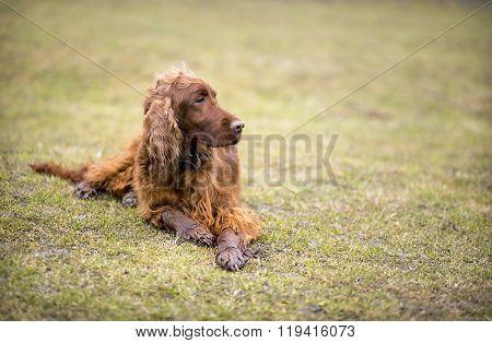 Hunting dog resting