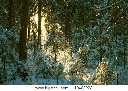 Thicket Of A Winter Forest