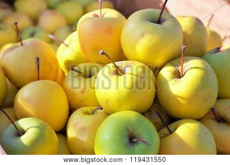 Yellow juicy fresh apples background. Golden Delicious Apples on the counter market