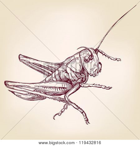 Locust or grasshopper -insect  hand drawn vector llustration realistic sketch