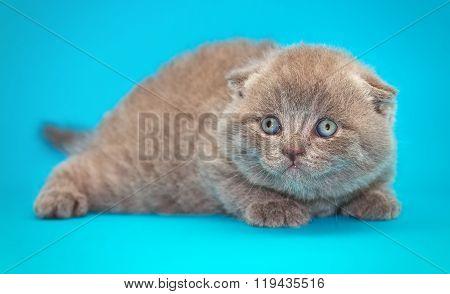 Scottish Fold Kitten. Kitten With Blue Eyes On A Blue Background.