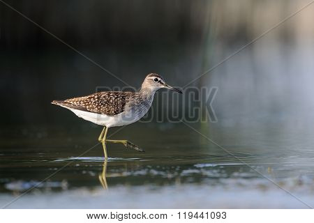 Side View Of Walking Wood Sandpiper At The Shallow Water Near Reeds