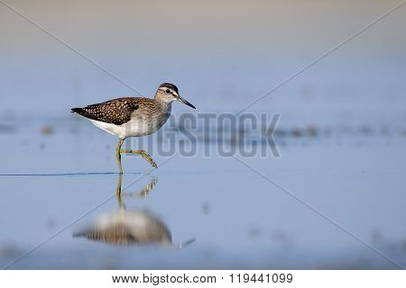 Side View Of Walking Wood Sandpiper At The Shallow Water Of The Blue Lake
