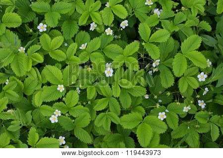 Green background of strawberry leaves