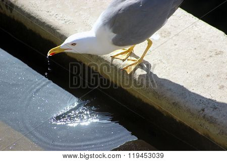 Seagull Drinking Water
