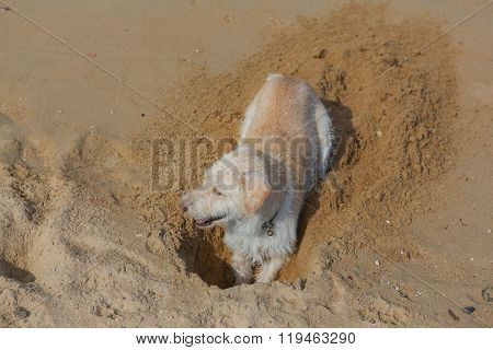 Dog Digging Sand On The Beach.